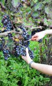 Harvest in October Oltrepo Pavese — Stok fotoğraf