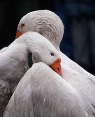 Goose misunderstanding — Stock Photo
