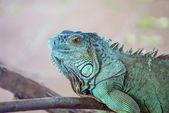 Iguana on a branch — Stock Photo