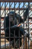 Chimpanzee in the cage — Stock Photo