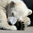 Polar bear cub having  rest — Stock Photo #61789851