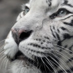 White tigress — Stock Photo #61789963