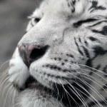 White tigress — Stock Photo #61789965