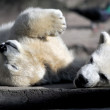 Polar bear cubs playing — Stock Photo #61789979