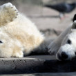 Polar bear cubs playing — Stock Photo #61789989