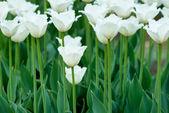 Tulips on flowerbed — Stockfoto
