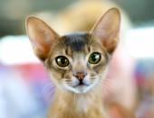 Retrato de gato abissínio — Fotografia Stock
