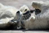 Polar bear cubs — Stock Photo