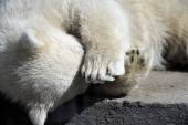 Polar bear cub having  rest — Stock Photo
