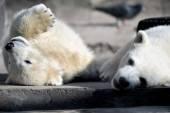 Polar bear cubs playing — Stock Photo