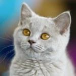 British Shorthair cat — Stock Photo #61790347