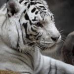 White tigress — Stock Photo #61790561