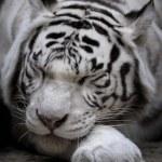 White tigress — Stock Photo #61790565