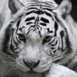 White tigress — Stock Photo #61790611