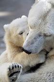 Polar bear   with  mom — Stock Photo