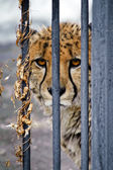 Sad  cheetah — Stock Photo