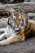 Siberian tiger — Стоковое фото