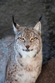 Lynx portrait — Stock Photo