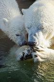 Polar bear with mommy — Stock Photo