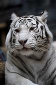 White tigress — Stock Photo