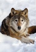 Wolf on snow — Stock Photo