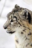 雪豹 — 图库照片