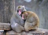 Pair of monkeys — Stock Photo