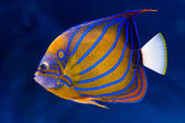 Bluering angelfish — Stock Photo