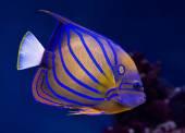 Bluering angelfish  — Stock Photo