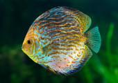 Discus fish — Stock Photo