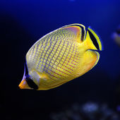 Latticed butterfly fish — Stock Photo
