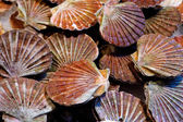Fresh scallops — Stock Photo