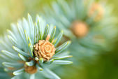 Fresh pine tree sprout — Stock Photo