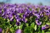 Violet flower field — Stock Photo