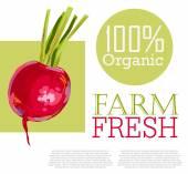 Fresh Radish — Stock Vector