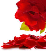 Red rose and petals. — Stock Photo