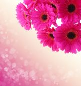 Pink gerbera flowers isolated . — Stok fotoğraf