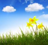 Yellow narcissus and blue sky. — Stock Photo