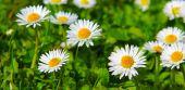 White daisy flowers . — Stockfoto
