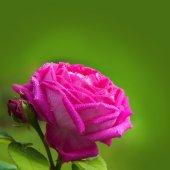 Rosa Ros. — Stockfoto