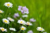 White daisies meadow. — Stock Photo