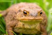 Big frog in summer meadow. — Zdjęcie stockowe