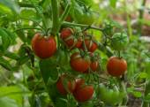 Tomatitos. — Foto de Stock