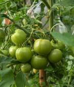 西红柿. — 图库照片