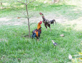 Chickens grazing on the grass — Stock Photo