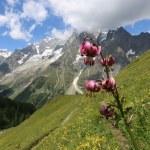 Lilium martagon, The Aosta Valley — Stock Photo #61816431