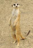 Meerkat looking at you — Stock Photo
