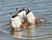 Ducks Teamwork Dive — Stock Photo