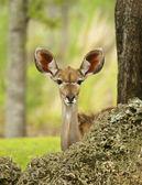 Young Gazelle Peeking — Stock Photo