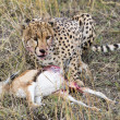 Cheetah eating gazelle — Stock Photo #61892261